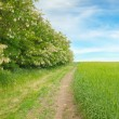 Field,thickets flowering acacia and country road — Stock Photo #73754405