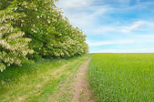 Field,thickets flowering acacia and country road — Stock Photo