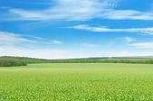 Green pea field and blue sky — Stock Photo