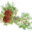 Cones of spruce and juniper branchlet — Stock Photo #79777716