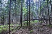 Dense forested hillside in Maine — Stock Photo