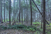 Dense pine forest of Maine — Stock Photo
