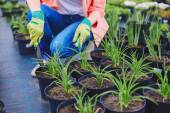 Woman in gloves replanting seedlings — Stock Photo