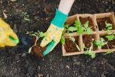 Gardener replanting tomato seedlings — Stock Photo