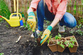 Farmer in gloves replanting green seedlings — Stock Photo