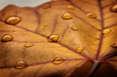 Maple leaf with water drop — Photo