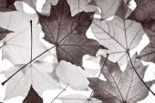 Pattern of  maple foliage — Stockfoto