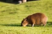 Furry capybara — Stock Photo