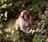 Fanny monkey — Stock Photo