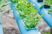 Coriander planting Water Hydroponics — Stock Photo
