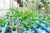 Vegetable planting water hydroponics — Stock Photo