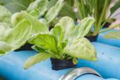 Chrysanthemum coronarium planting Water Hydroponics — Stock Photo