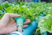 Hand hold Coriander planting Water Hydroponics — Stock Photo