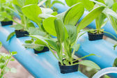 Chinese cabbage planting Water Hydroponics — Stock Photo