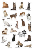 Cat breeds poster in English — Stock Photo