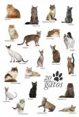 Cat breeds poster in Spanish — Stock Photo