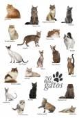 Cat breeds poster in Spanish — Stock Photo