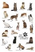 Cat breeds poster in French — Stock Photo