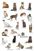 Cat breeds poster in Dutch — Stock Photo