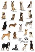 Dog breeds poster in French — Stock Photo