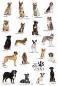 Dog breeds poster in Italian — Stock Photo