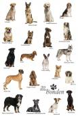 Dog breeds poster in Dutch — ストック写真