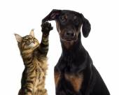 Cat pawing at a dog ear — Stock Photo