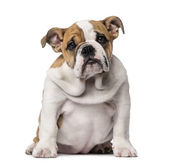 English Bulldog puppy (3 months old) — Stock Photo