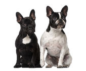 Two French Bulldogs sitting — Stock Photo