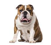 English Bulldog (4 years old) — Stock Photo