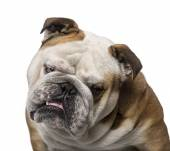 English Bulldog (3 years old) — Stock Photo