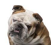 English Bulldog (3 years old) — Stock Photo