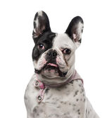 French Bulldog (18 months old) — Stock Photo