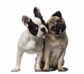 French Bulldog (7 months old), Pug (8 months old) — Stock Photo