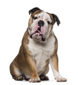English Bulldog (1 year old) — Stock Photo
