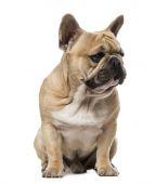French Bulldog (1,5 year old) — Stockfoto