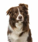 Border collie (2 years old) — Stock Photo
