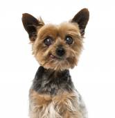 Old yorkshire terrier (13 years old) — Stock Photo