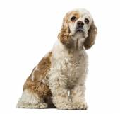 American cocker spaniel (6 years old) — Stock Photo