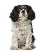 Cavalier king charles spaniel (5 years old) — Foto de Stock