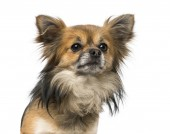 Chihuahua (2 years old) — Stock Photo