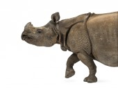 Indian one-horned rhinoceros — Stock Photo