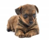 Miniature pinscher puppy (2 months) — Foto Stock