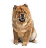 Chow chow (2 years old) — Foto Stock