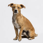 Crossbreed sitting and looking at the camera — Stock Photo