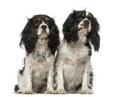 Two Cavalier King Charles Spaniels — Stock Photo