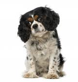 Cavalier king charles spaniel (5 years old) — Stock Photo