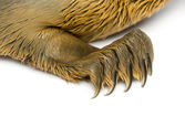 Close-up on the paw of a Common seal pup, isolated on white — Stock Photo