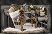 Yorkshire terriers in front of a rustic background — Stock Photo