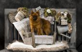 Spitz in front of a rustic background — Stock Photo